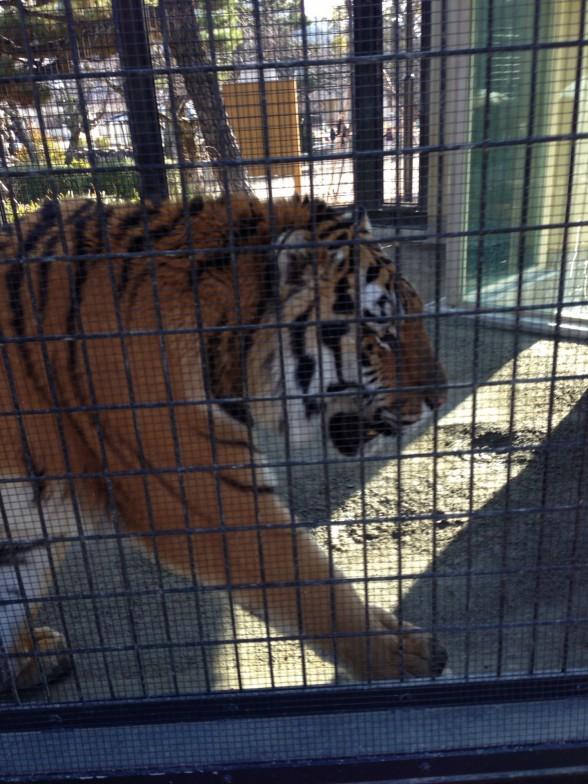 京都市動物園 虎