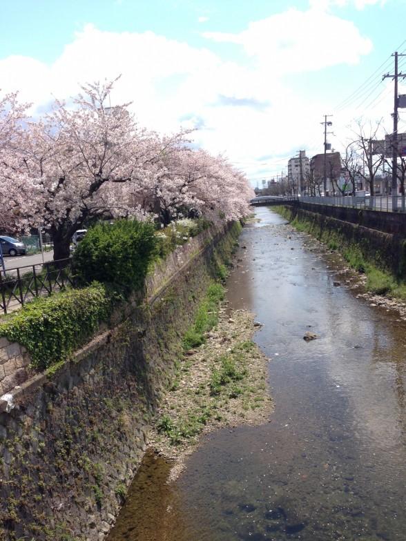 右京区の桜