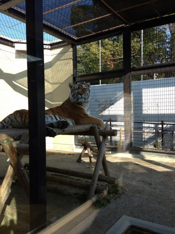 京都市動物園 虎 座っている様子